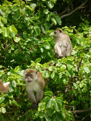 Monkeys at Monkey Island