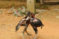 Fighting Chickens