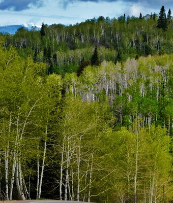 Colorado Aspens!