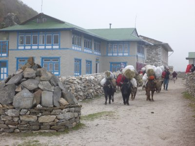 Town of Khumjung - Yaks