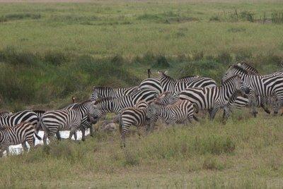 1005_Serengeti_0121.jpg