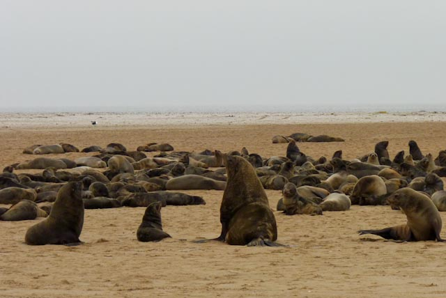 Cape Fur Seals at Walvis Bay