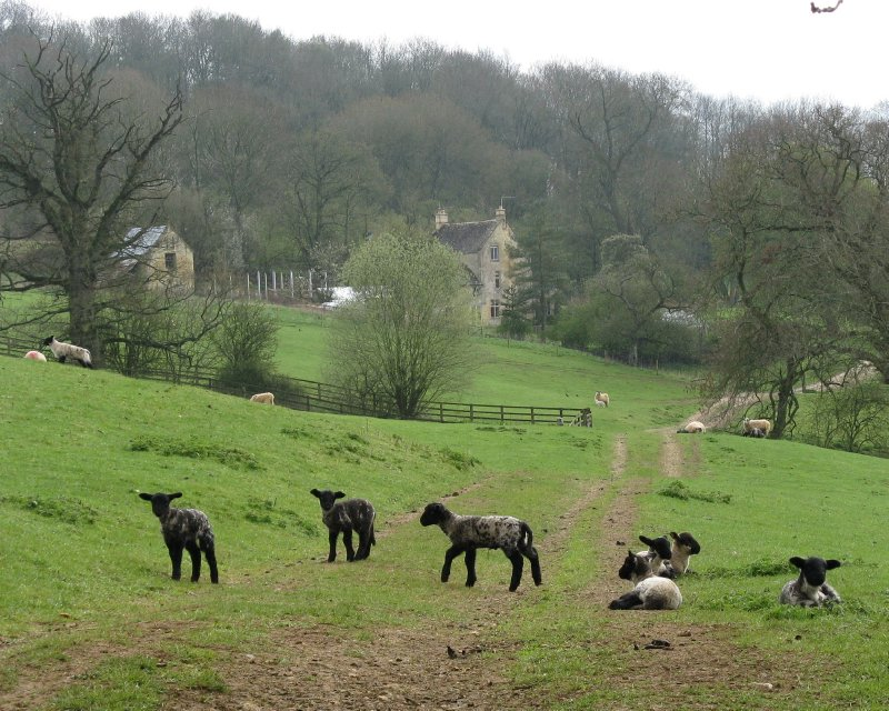 Sudeley Farm lambs