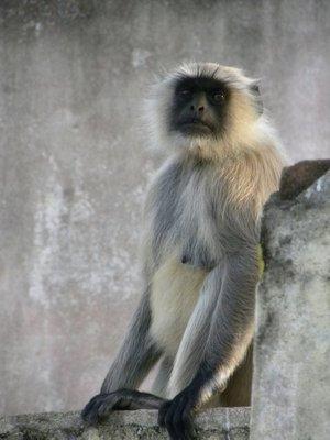 Langoer aap