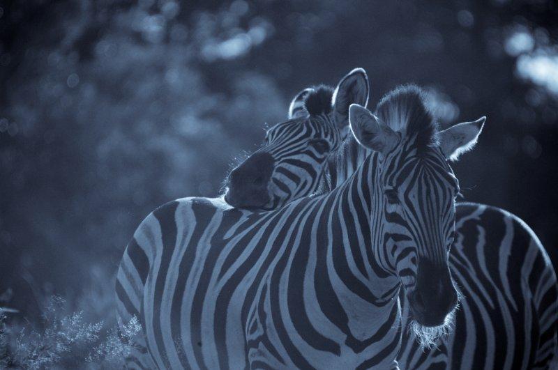 Zebras Cuddling