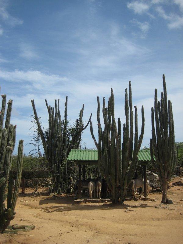 Aruba 973
