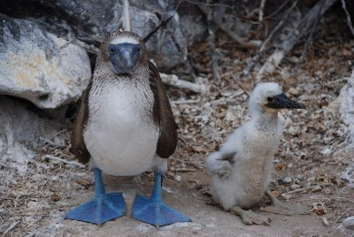 Blue Footed Booby and baby