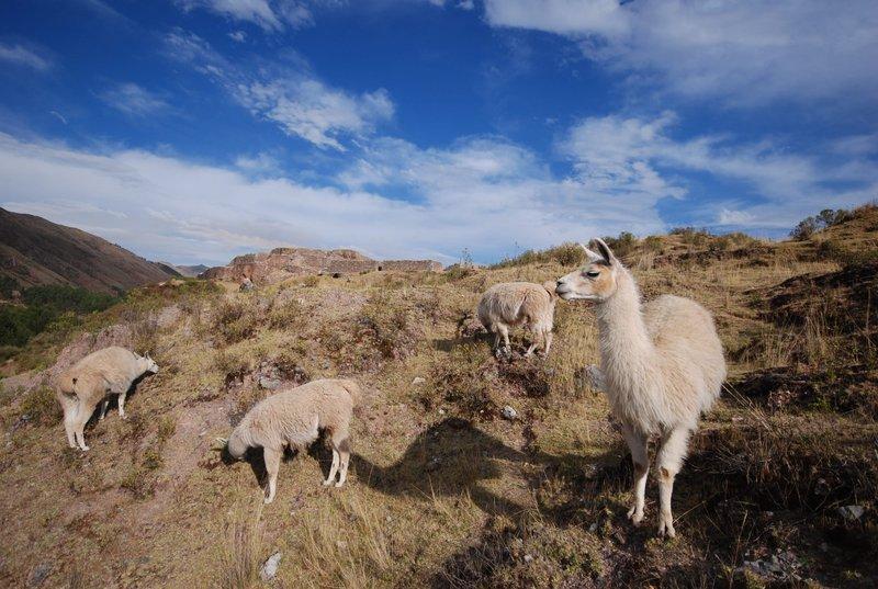 Llamas and ruins