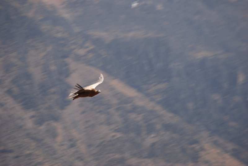 My one close-up of a condor