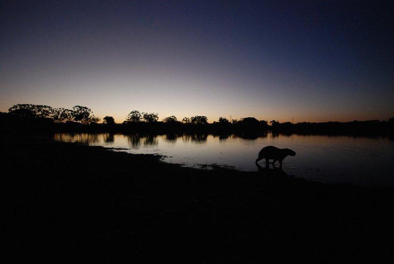 Capybara at dusk