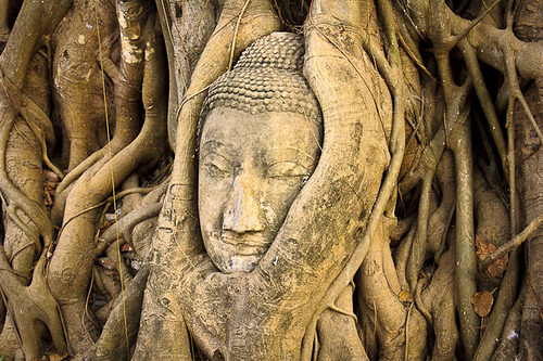 Stone Buddha head in roots of a Banyan tree