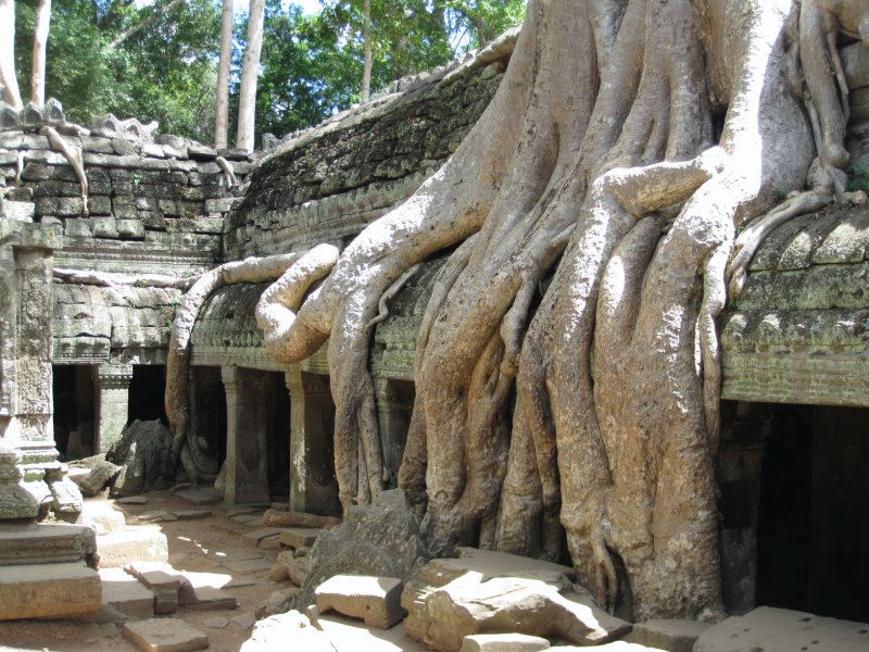 Crocodile Tree - Ta Prohm