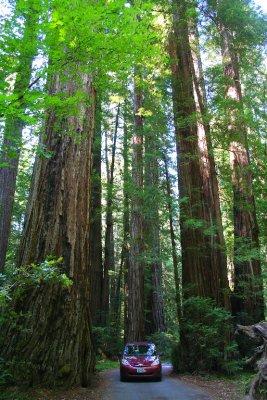 Humboldt Redwood
