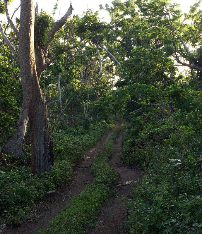 Tanna Island woods