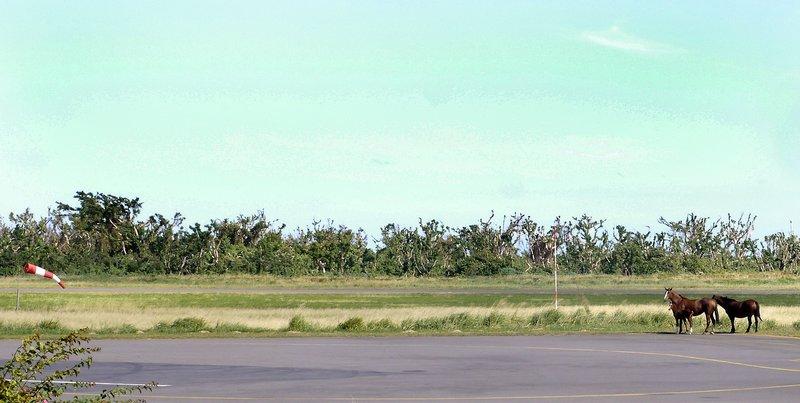 Tanna airport wild horses