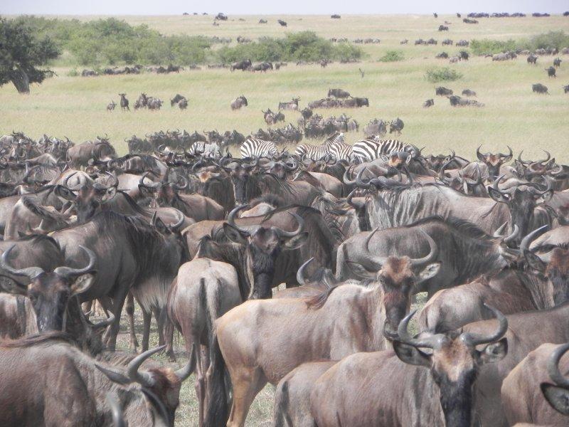 masai Mara Migration 069