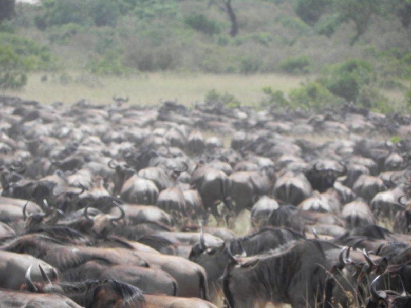 masai Mara Migration 100