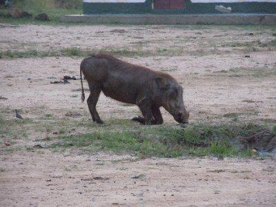 A warthog feeding at the Nile River ferry crossing