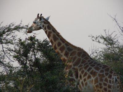 Rothschild giraffe, a recently-endangered species