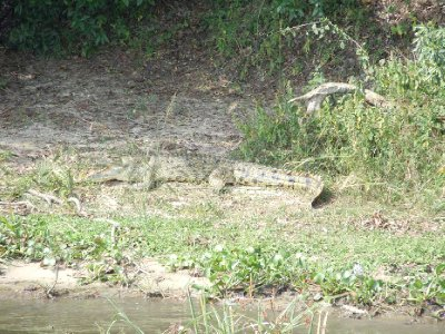 Well-camoflouged female croc on shore