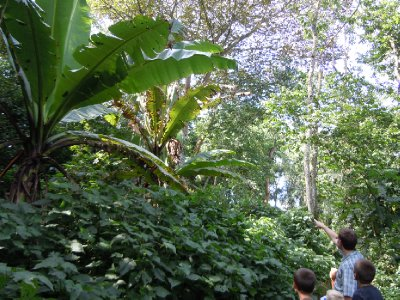 Massive banana trees...very jungle-like!!