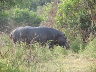 A hippo making its way through the brush -- we seemed to be headed in the same general direction