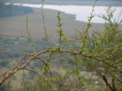 At Kazuna look-out, close-up of an acacia branch with one of the lakes in the background