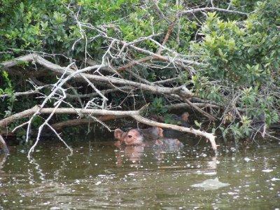A hippo regards us suspiciously