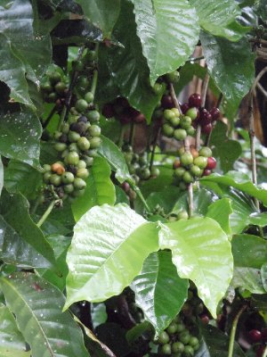 Mama Resty grows coffee beans