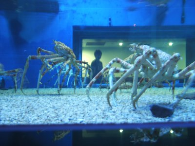 Creepy spider crabs in Osaka Aquarium