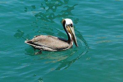 Huge pelicans