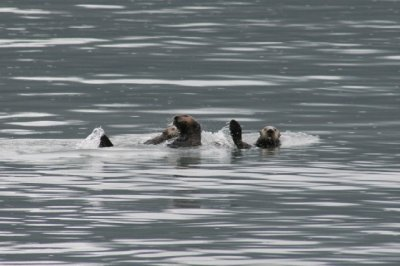 Sea Otters playing.