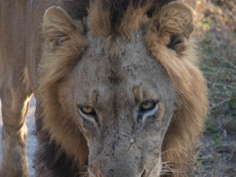 Lion that Roared