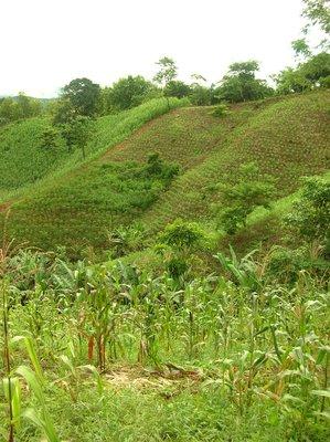 Chepo's corn fields