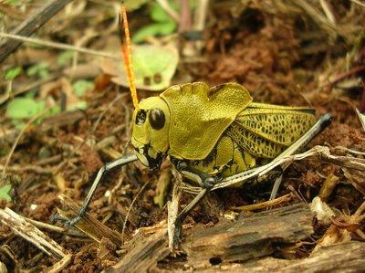 giant corn-eating grasshopper