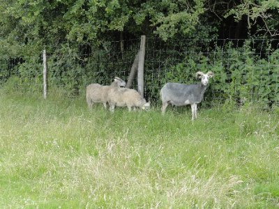 Gotland outdoor sheep