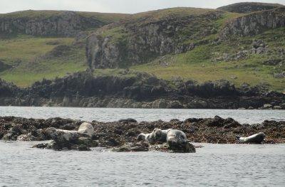Basking seals, Cuillin Sound