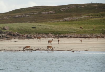 Red deer on Rum, one of the Small Isles in the Cuillin Sound