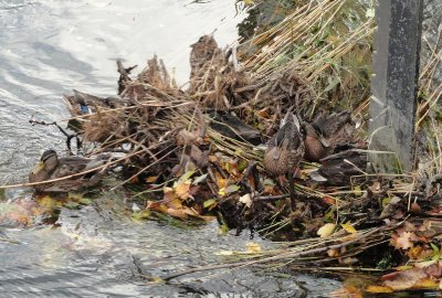 The ducks found refuge on some debris in the canal