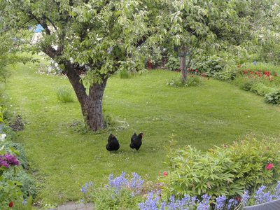 Chickens roaming free under the apple trees