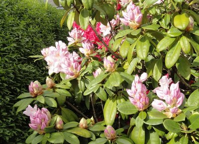 Rhododendrons and buds ready to flower