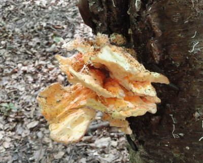 Fungi growing on a tree.