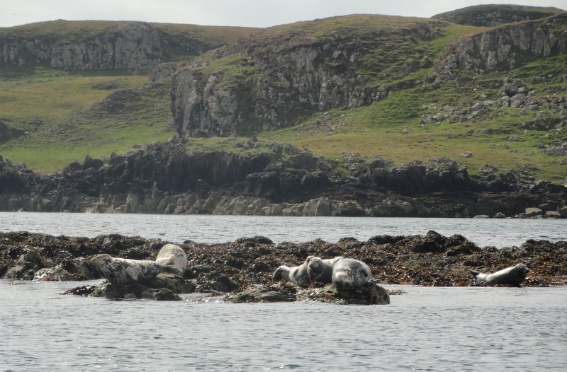 Basking seals, Cuillin Sound