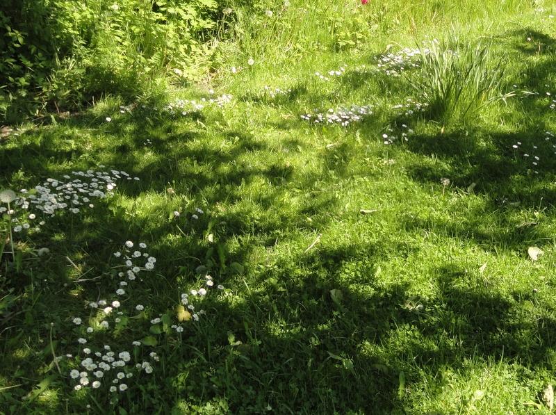 Daisies growing randomly through the grass