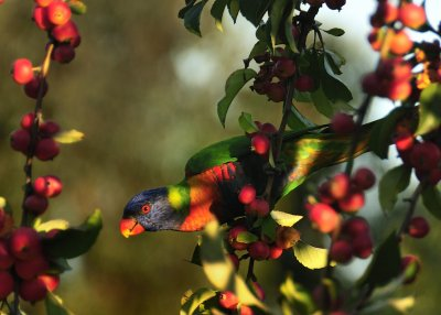 Lorikeet on Apple Tree