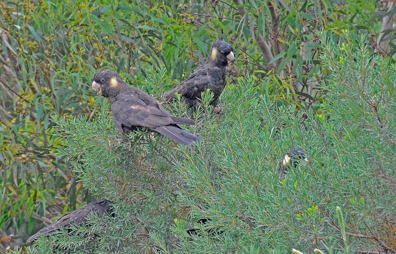 Yellow Tail Black Cockatoos