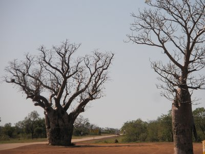 I just love the Boab Trees - they remind me of me - little chunky in the trunk!