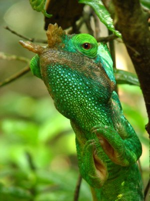 Parson&#39;s chameleon
