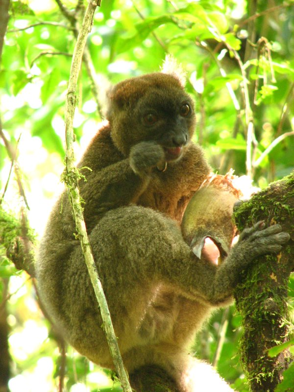 Greater bamboo lemur