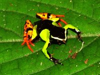 Mantella baroni frog